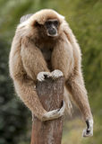 White-handed gibbon 2 Royalty Free Stock Photo