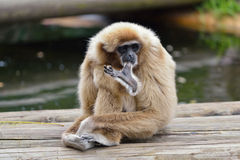 White handed gibbon Royalty Free Stock Image