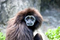 White-handed gibbon a animal wildlife. Lar gibbon watching something on grass field Royalty Free Stock Images