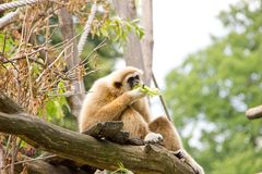 White-handed gibbon eating leaves Royalty Free Stock Photos