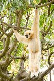 White-handed gibbon hanging in the trees. A white-handed gibbon hanging in the trees Stock Photography