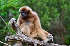 White-handed gibbon (Hylobates lar). Sit on log Royalty Free Stock Photography