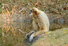 White-handed Gibbon (Hylobates lar) Stock Images