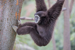White Handed Gibbon (Hylobates lar) Stock Photos