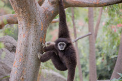 White-handed Gibbon (Hylobates lar) hanging on a tree. Oakland Zoo, Oakland, Alameda County, California, USA Royalty Free Stock Photo