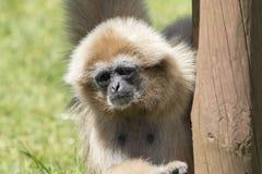 White-Handed Gibbon (Hylobates lar) Royalty Free Stock Photography