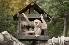 A white-handed gibbon Hylobates lar family sitting in our house. Stock Images