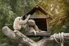 A white-handed gibbon Hylobates lar family sitting in our house. Royalty Free Stock Photography