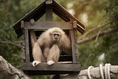 A white-handed gibbon Hylobates lar family sitting in our house. Stock Photography