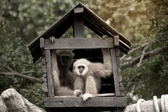 A white-handed gibbon Hylobates lar family sitting in our house. Stock Image