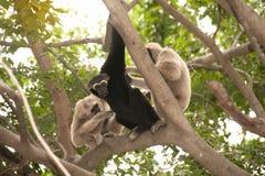 A white-handed gibbon Hylobates lar family sitting on tree. Royalty Free Stock Photo