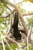A white-handed gibbon Hylobates lar family sitting on tree. Stock Photos