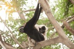 A white-handed gibbon Hylobates lar family sitting on tree. Royalty Free Stock Photos