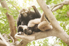 A white-handed gibbon Hylobates lar family sitting on tree. Royalty Free Stock Photography