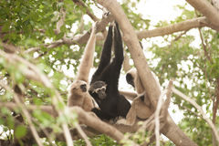 A white-handed gibbon Hylobates lar family sitting on tree. Royalty Free Stock Images