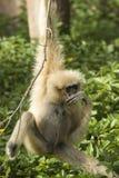 White-Handed Gibbon Royalty Free Stock Photo