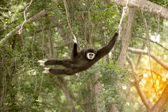 A white-handed gibbon Hylobates lar hanging on tree. Royalty Free Stock Images