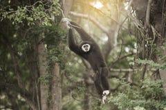A white-handed gibbon Hylobates lar hanging on tree. Royalty Free Stock Image