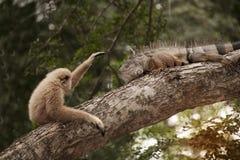 A white-handed gibbon Hylobates lar play with gray iguana on tree. Stock Image