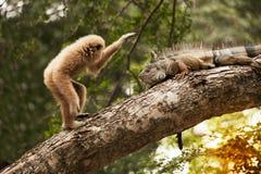 A white-handed gibbon Hylobates lar play with gray iguana on tree. Stock Photo