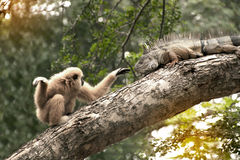 A white-handed gibbon Hylobates lar play with gray iguana on tree. Stock Images