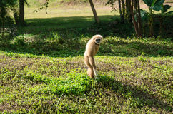 White handed gibbon (Hylobates lar) Stock Images