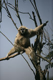 White-handed gibbon, Hylobates lar Stock Photography