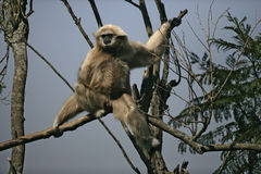 White-handed gibbon, Hylobates lar Royalty Free Stock Photo