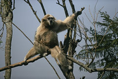 White-handed gibbon, Hylobates lar Royalty Free Stock Photography
