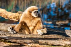 Lar Gibbon portrait with colorful background. White handed Gibbon Hylobates lar sitting on a log Royalty Free Stock Photo