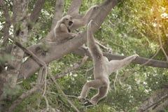 A white-handed gibbon Hylobates lar sitting on tree. Stock Image