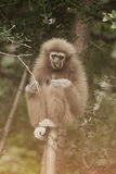 A white-handed gibbon Hylobates lar sitting on tree. Royalty Free Stock Images