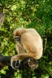White-handed gibbon (Hylobates lar) Stock Image