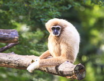White-handed gibbon Royalty Free Stock Image