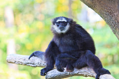 White handed Gibbon or Lar Gibbon Royalty Free Stock Photography
