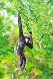 White handed Gibbon or Lar Gibbon Royalty Free Stock Photo