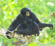 White handed Gibbon or Lar Gibbon Stock Photography