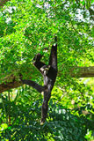 White handed Gibbon or Lar Gibbon Stock Photo
