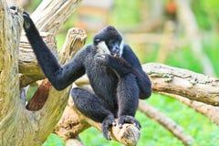 White handed Gibbon or Lar Gibbon Royalty Free Stock Photos