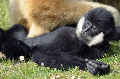White-handed gibbon lying on grass Stock Photography