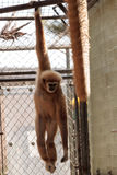 White-handed gibbon monkey called Hylobates lar Royalty Free Stock Image