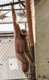 White-handed gibbon monkey called Hylobates lar Stock Photography