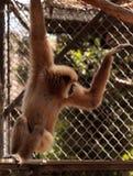 White-handed gibbon monkey called Hylobates lar Stock Photo