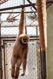 White-handed gibbon monkey called Hylobates lar Stock Photos