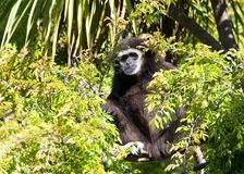 White handed gibbon peaking out of a tree looking at viewer. White handed Gibbon sitting in a tree eating a banana. It is an endangered primate in the gibbon Stock Photo