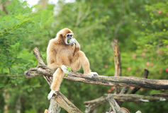 White handed gibbon. Royalty Free Stock Images