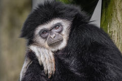 White handed gibbon. Posing and looking directly at the camera head leaning on hand royalty free stock images