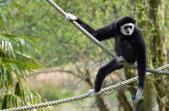 White-handed gibbon on ropes Royalty Free Stock Photo
