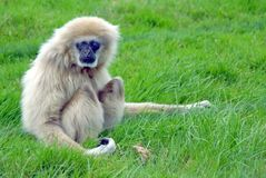 White Handed Gibbon Sitting. On Grass royalty free stock photo