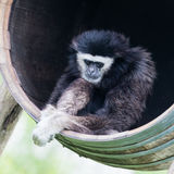 White handed gibbon sitting in a barrel Royalty Free Stock Images